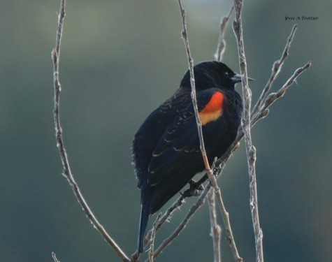 Red-winged Black bird by Rithet's bog. Picture by Captain Yves with a zoom lens.