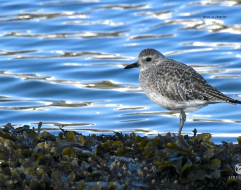 Black-bellied Plover. Pictures taken by Captain Yves with a zoom lens.