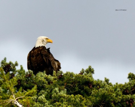 Bald Eagle perched at Metshosin