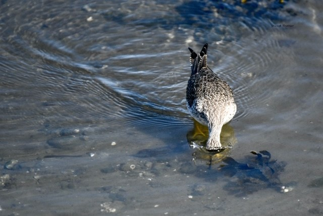 Hunting for food- Greater Yellowlegs