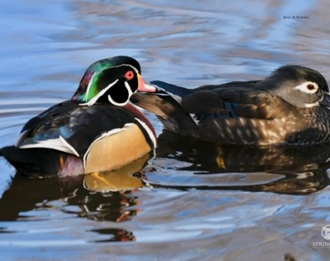 Male and Female Wood Ducks. Picture by Captain Yves with a zoom lens.