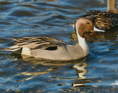 Male Northern Pintail. Pictures taken y Captain Yves with a zoom lens