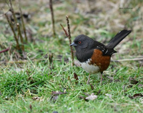 Spotted Towhee. Pictures taken by Captain Yves with a zoom lens.
