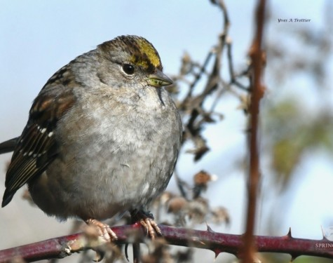 Golden-crowned Sparrow. Pictures taken by Captain Yves with a zoom lens.