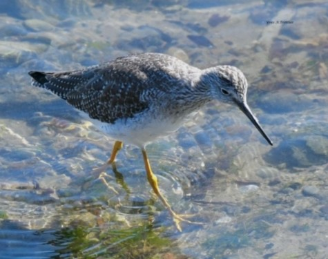 Great Yellowlegs at Oak Bay Marina. PIcture taken by Captain Yves with a zoom lens