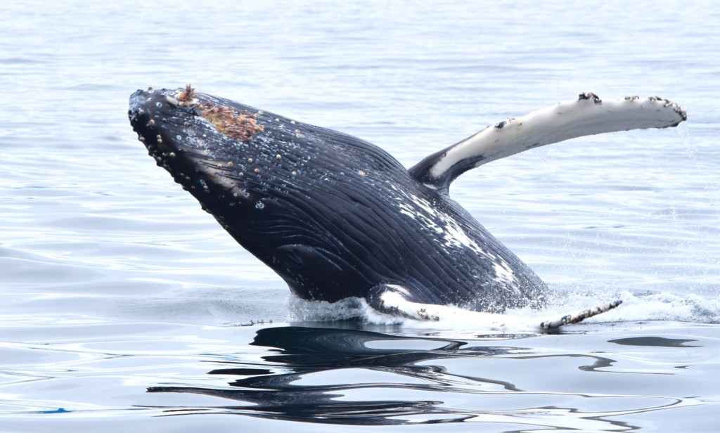 Humpback whales: why are they so lumpy and bumpy?