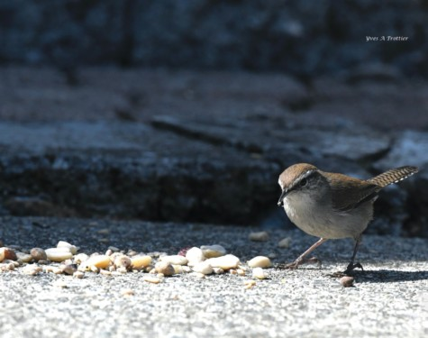 Bewick's Wren. Pictures taken by Captain Yves with a zoom lens