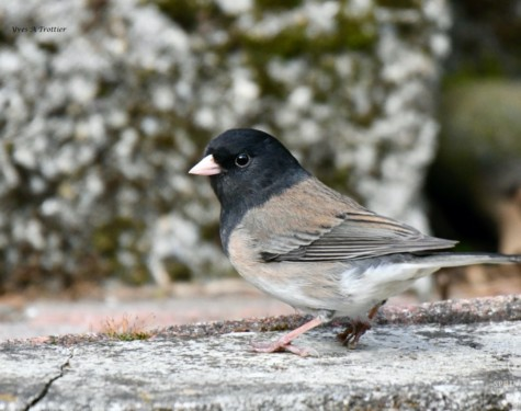 Dark-eyed Junco. Pictures taken by Captain Yves with a zoom lens.