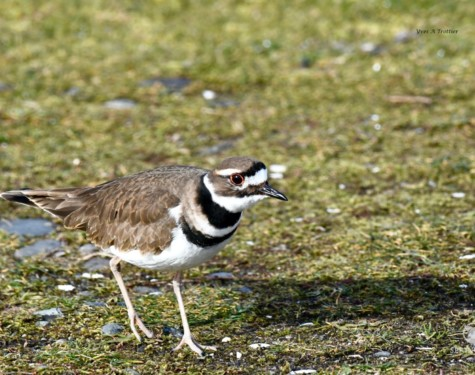 Killdeer. Pictures taken by Captain Yves with a zoom lens.