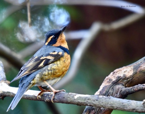 Varied Thrush. Pictures taken by Captain Yves with a zoom lens.