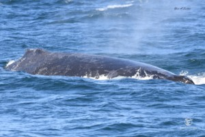 The scarred up back of a Humpback whale