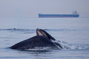 A Humpback whale showing its large mouth!