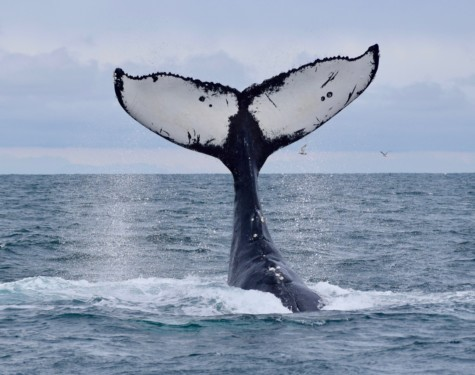 Humpback Whale tail identified as Two Spot or MMZ0013. Photo taken by Captain Ian with a zoom lens.