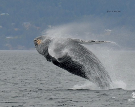 A Humpback Whale does a full breach!