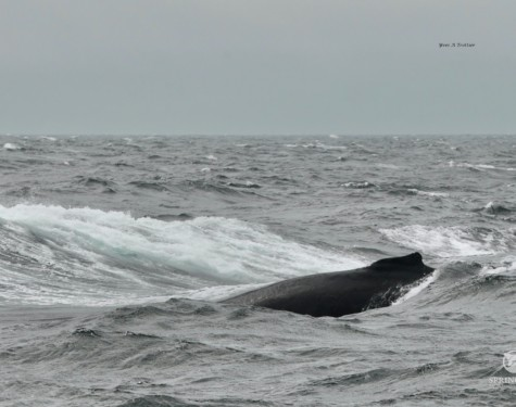 A Humpback Whale appears out of the wavy swell of the Salish Sea. Photo Credit to Captain Yves with a zoom lens
