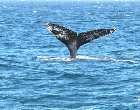 Humpback Whale tail as it goes down for a deep dive. Picture taken with a zoom lens by Captain Yves.