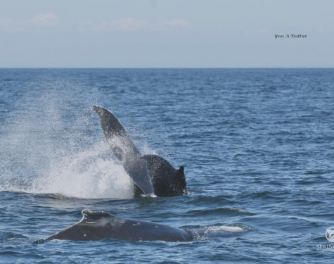 A juvenile Humpback whale tail lobbing. Pictures taken with a zoom lens by Captain Yves