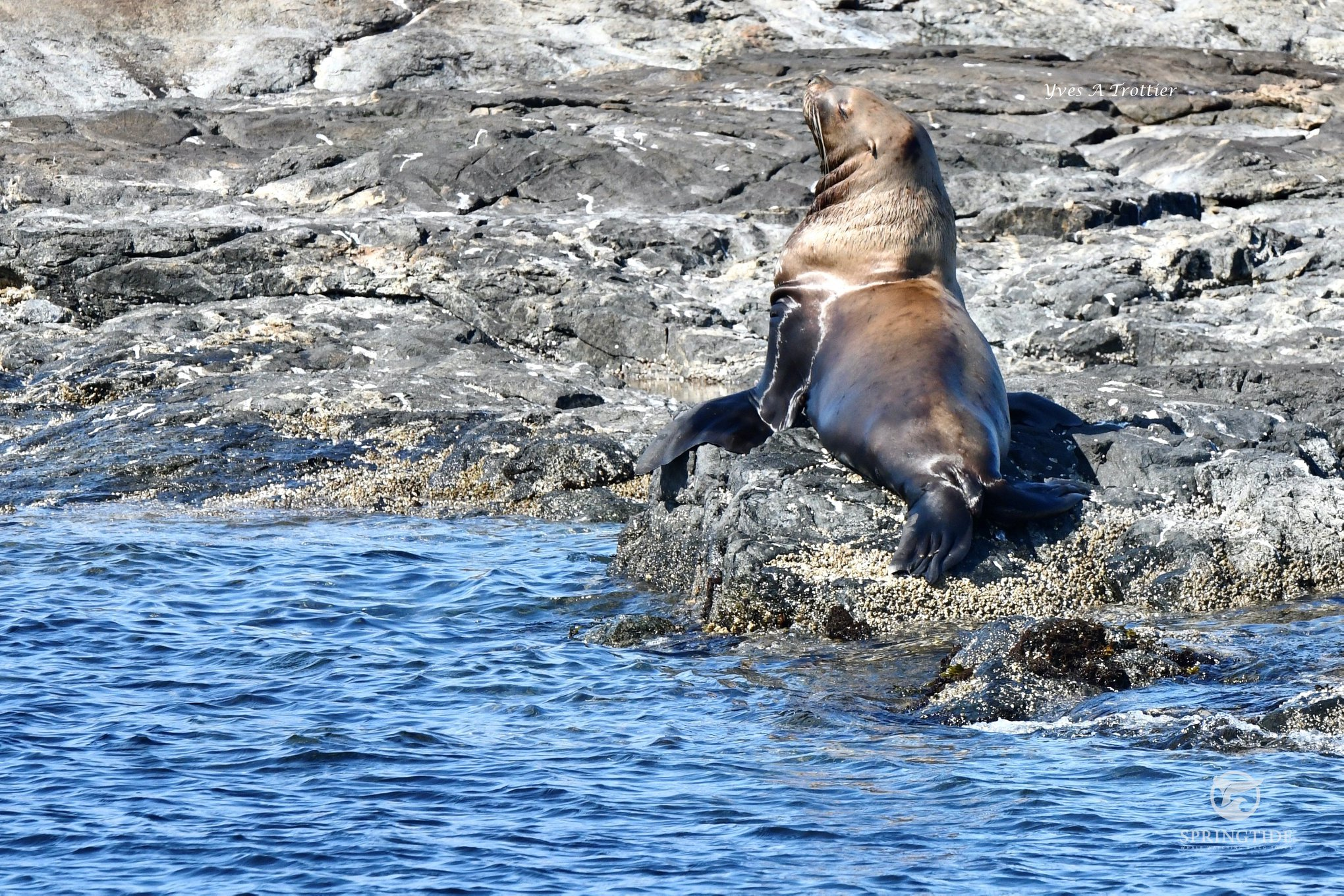 A beautiful Sea Lion sunny itself to warm up from the cold pacific waters.