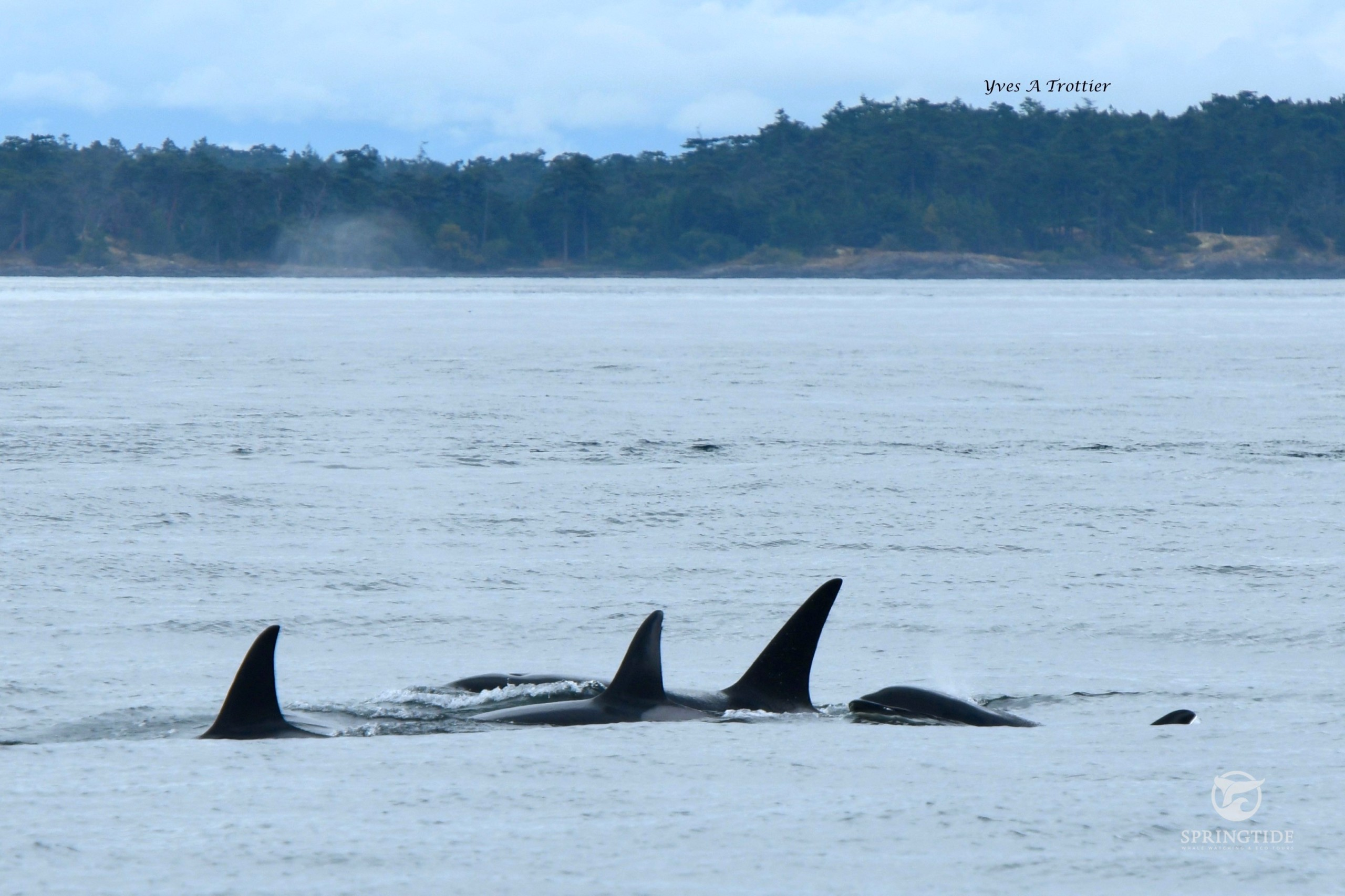 T60, killer whales swimming together