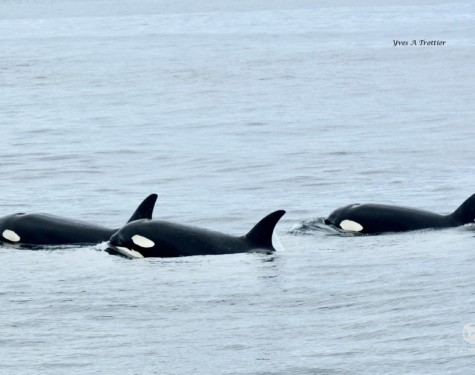 Killer Whale pod known as the T60s
