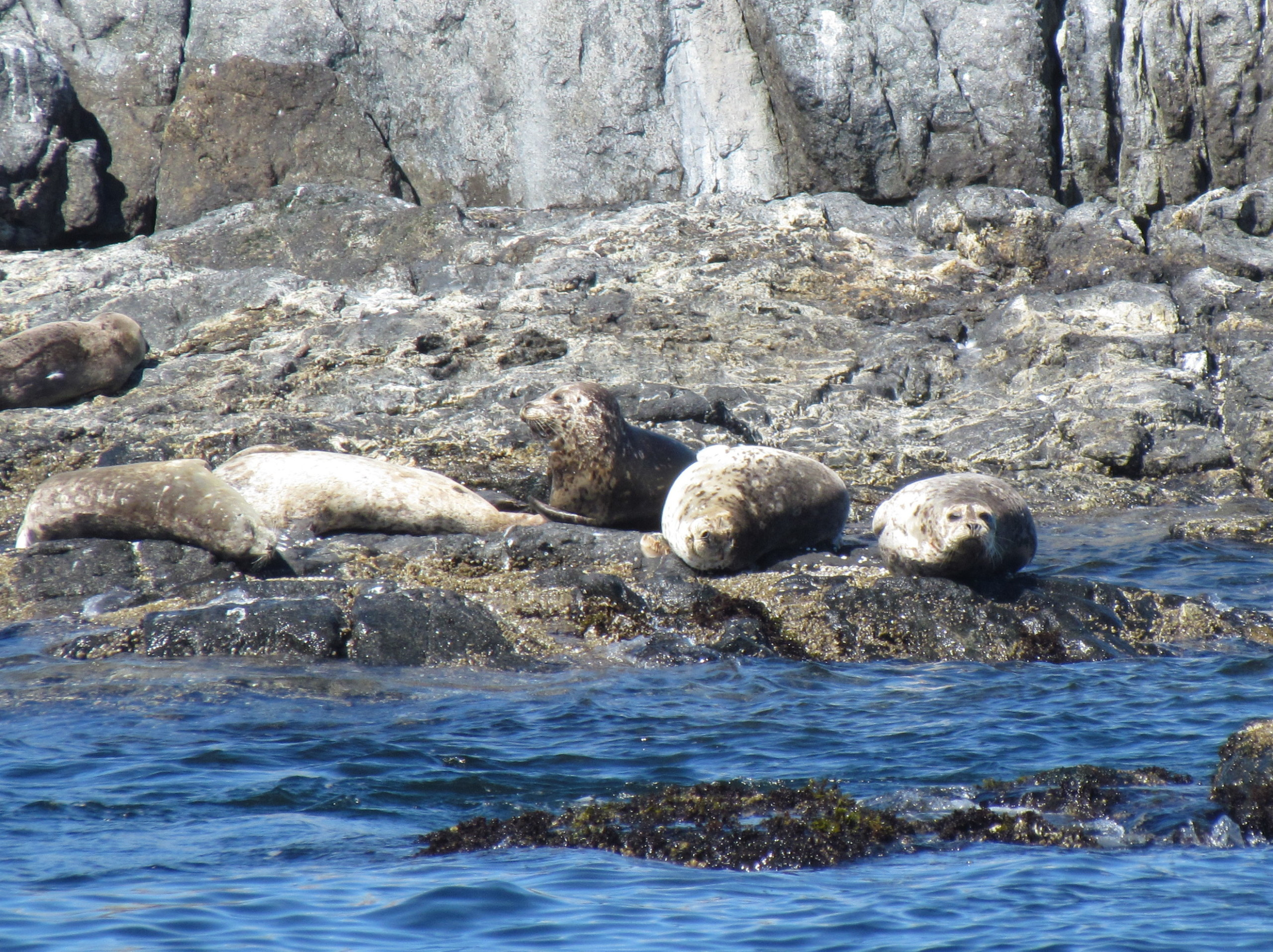 Harbour Seals resting up on the rocks.