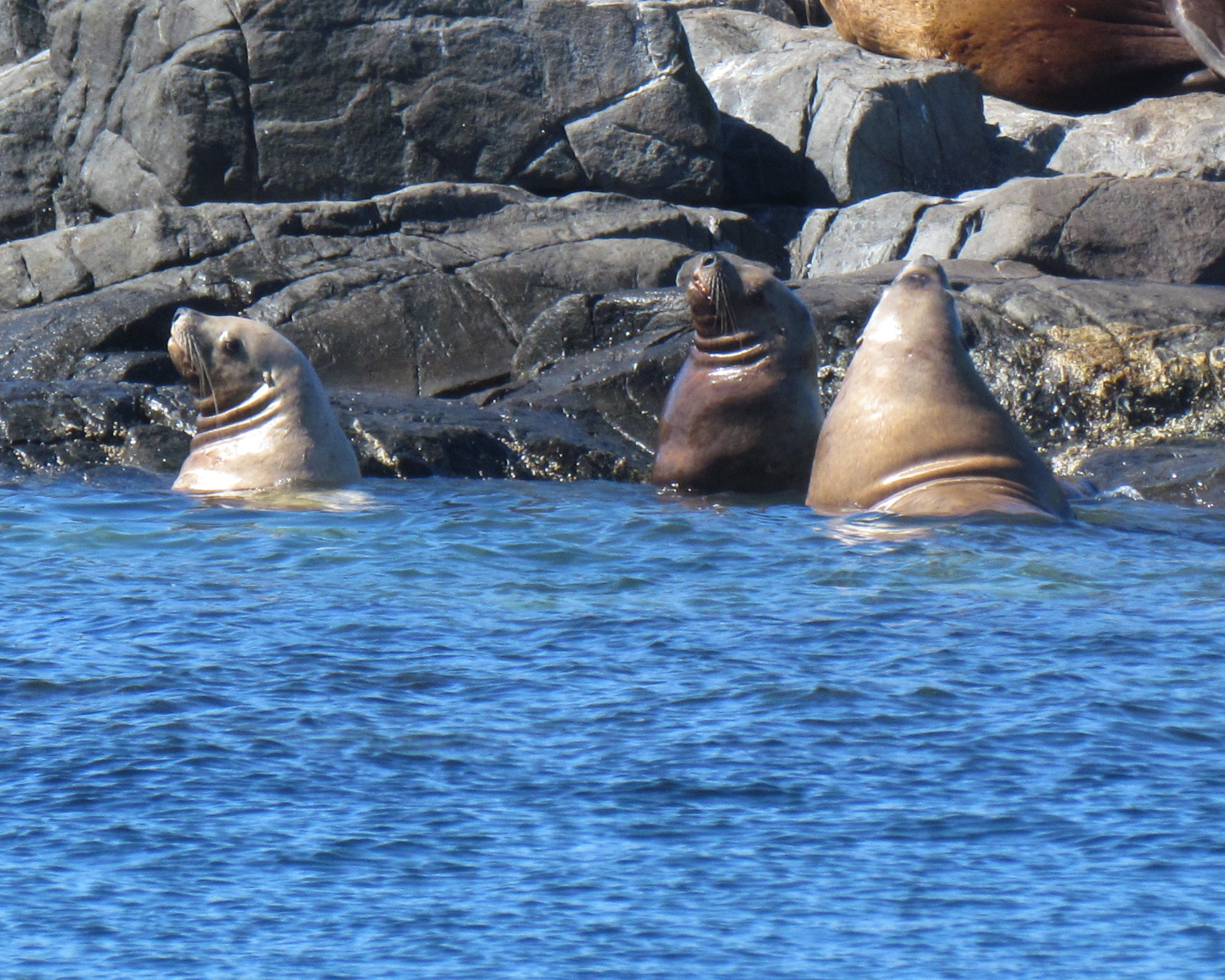 Sea Lions taking a dip in the cool waters