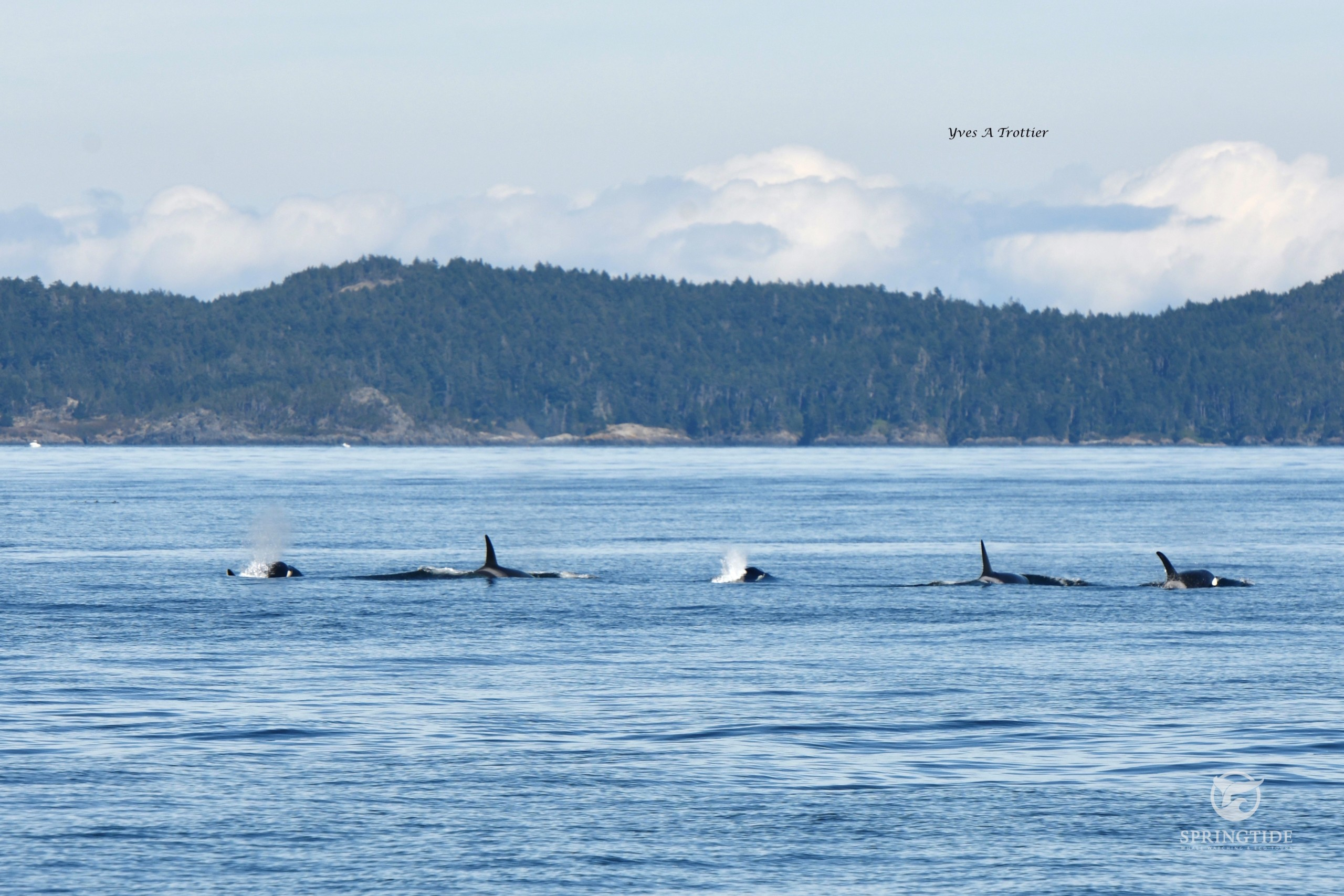 Family of transient Killer Whales.